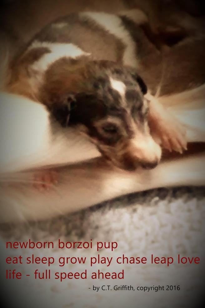 haiku newborn borzoi pup July26 2018
