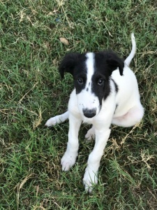 available borzoi puppy